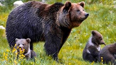 Por primera vez en décadas, crece población de osos en el Pirineo